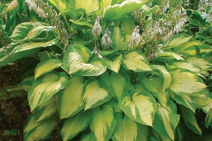Paul's Glory, Hosta