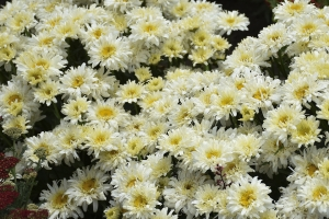 Leucanthemum 'Ice Cream Dream' New 2021