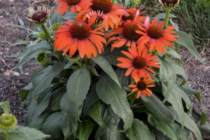 Echinacea 'Atomic Orange' SOLD OUT