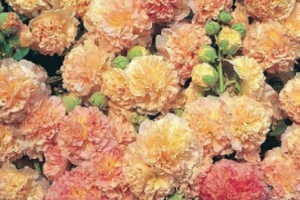 Alcea, Peaches n Dreams SOLD OUT