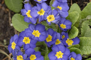 Primula Supernova 'Blue'