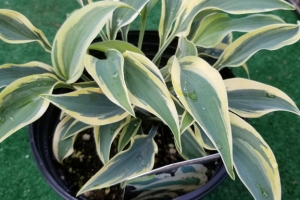 Sleeping Star, Hosta