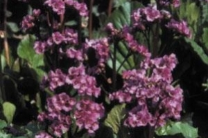 Bergenia 'Red Beauty'