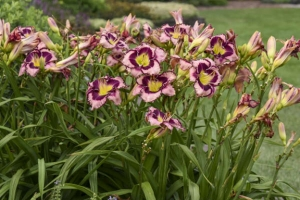 Hemerocallis 'Sound of My Heart' New 2021