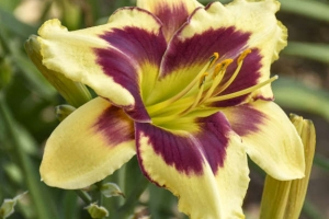 Hemerocallis 'Star of the North' New 2021
