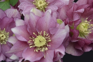 Helleborus 'Maid of Honor' New 2021