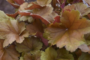 Heuchera 'Toffee Tart' New 2021