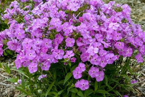 Phlox 'Baby Doll Pink' New 2021