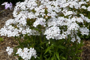 Phlox 'Baby Doll White' New 2021