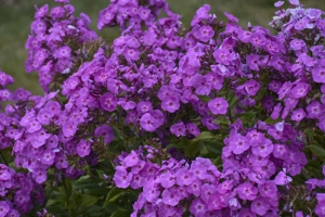 Phlox 'Cover Girl' New 2021
