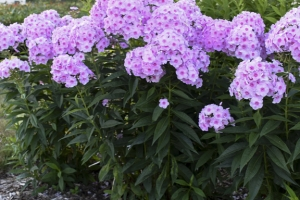 Phlox 'Opalescence' New 2021