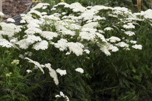 Achillea 'Firefly Diamond' NEW 2020