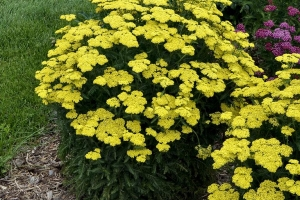 Achillea 'Firefly Sunshine' NEW 2020