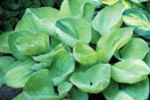 Aladdin's Lamp, Hosta (SOLD OUT)