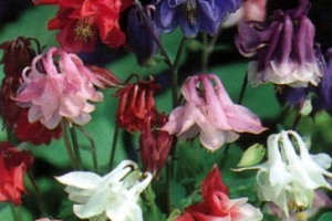 Aquilegia 'Biedermeier' SOLD OUT