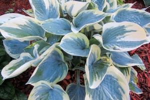 Aristocrat, Hosta (Sold Out)
