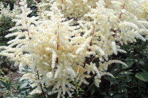 Astilbe 'Cappucino' SOLD OUT