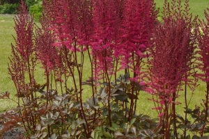 Astilbe 'Mighty Chocolate Cherry' SOLD OUT