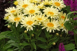 Leucanthemum 'Banana Cream' SOLD OUT