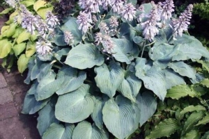 Blue Angel, Hosta