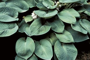 Blue Dome, Hosta (SOLD OUT)