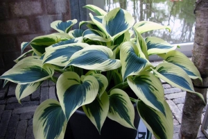 Blue Ivory, Hosta SOLD OUT