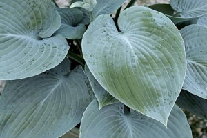 Blue Pointer, Hosta (SOLD OUT)