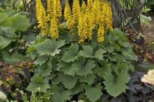 Ligularia 'Bottle Rocket' SOLD OUT