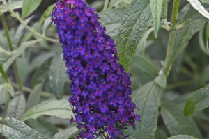 Buddleia 'Purple'