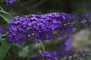 Buddleia 'Blue Knight'