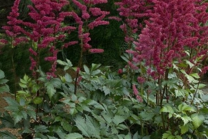 Astilbe 'Burgandy Red'