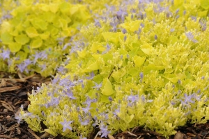 Campanula Carpatica 'Dickson's Gold' NEW 2020