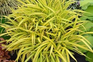 Grass Carex 'Banana Boat'