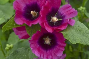 Alcea 'Cerise' SOLD OUT