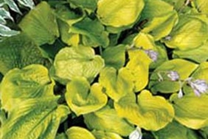 Checkered Cab, Hosta (Sold Out)