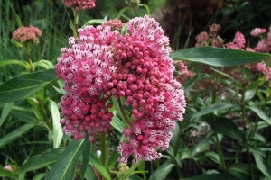 Asclepias 'Cinderella' SOLD OUT