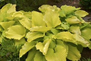 Coast to Coast, Hosta