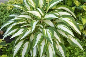 Cool As A Cucumber, Hosta