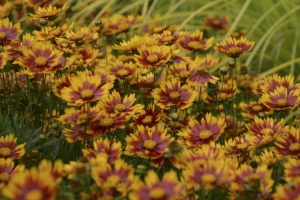 Coreopsis 'Daybreak' SOLD OUT