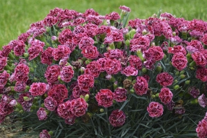 Dianthus 'Cherry Vanilla' (Sold Out)