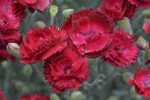 Dianthus 'Electric Red' SOLD OUT