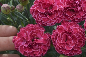 Dianthus 'Raspberry Ruffles' (SOLD OUT)