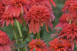 Echinacea 'Double Scoop Mandarin