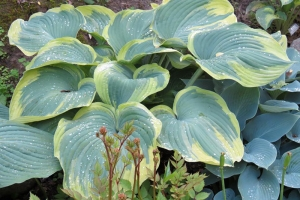 Earth Angel, Hosta SOLD OUT