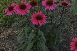Echinacea 'Coral Craze' SOLD OUT