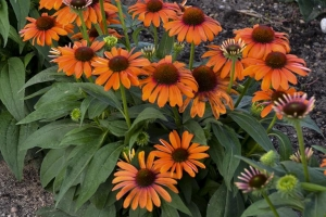 Echinacea 'Orange You Awesome' (Sold Out)
