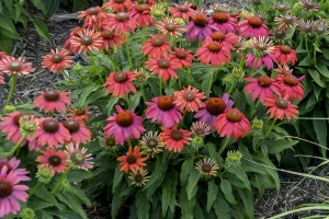 Echinacea 'Lakota Fire' SOLD OUT