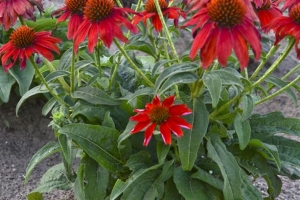 Echinacea 'Sombrero Salsa Red' (Sold Out)