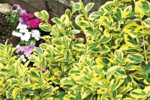 Euonymus 'Emerald n Gold'