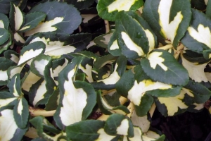 Euonymus Moonshadow